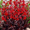 Picture of Lobelia Queen Victoria