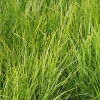 Picture of Lomandra Tanika