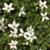 Picture of Pratia Macrodon Starlight