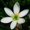 Picture of Zephyranthes Candida