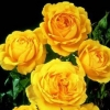 Picture of Summer Gold -Rose