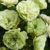 Picture of Green Ice-Rose