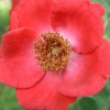 Picture of Rosa Moyesii-Rose