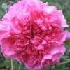 Picture of Rosa roxburghii plena-Rose