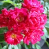 Picture of Fairy Queen Std 1.8m weeper-Rose