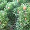 Picture of Pinus Mugo