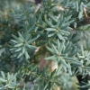 Picture of Podocarpus T Matapouri Blue