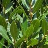 Picture of Laurus nobilis Pride of Provence