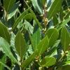 Picture of Laurus nobilis Pride of Provence