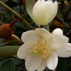 Picture of Michelia Yunnanensis