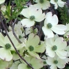 Picture of Cornus Cherokee Princess L/W