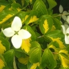 Picture of Cornus Gold Star
