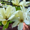 Picture of Magnolia Sundance