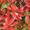 Picture of Photinia Red Robin