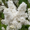 Picture of Syringa Mme Le Moine