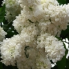Picture of Syringa Princesse Clementine