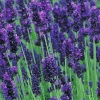 Picture of Lavender Hidcote Blue