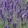 Picture of Lavender Grosso