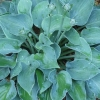 Picture of Hosta Blue Cadet