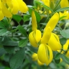 Picture of Genista Yellow Imp
