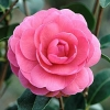 Picture of Camellia Tamzin Coull