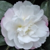 Picture of Camellia Pure Silk