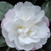 Picture of Camellia Pure Silk Espaliered