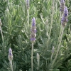 Picture of Lavender My Choice