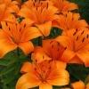 Picture of Lilium Asiatic Orange Pixie