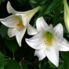 Picture of Lilium Snow Queen
