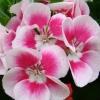 Picture of Geranium Fairy White Splash
