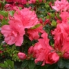 Picture of Azalea Clarissa