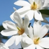 Picture of Magnolia Fairy White