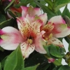 Picture of Alstroemeria Sweety