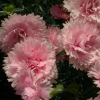 Picture of Dianthus Candy Floss