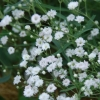 Picture of Gypsophila Bristol Fairy