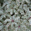 Picture of Pittosporum T Variegata