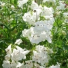 Picture of Penstemon Snowstorm