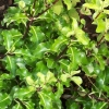 Picture of Pittosporum Tenuifolium Fine Leaf