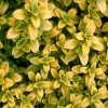 Picture of Thymus Aurea