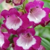 Picture of Penstemon Grape Taffy