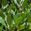 Picture of Laurus Nobilis Std