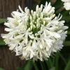 Picture of Agapanthus Snowball
