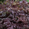Picture of Actaea Black Negligee