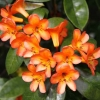 Picture of Rhododendron Vireya Golden Charm