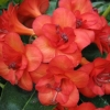 Picture of Rhododendron Vireya Java Rose