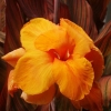 Picture of Canna Tropicanna