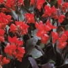 Picture of Canna Kneehigh Scarlet Bronze