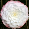 Picture of Camellia Amazing Graces
