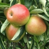 Picture of Apple Ballerina Polka M793